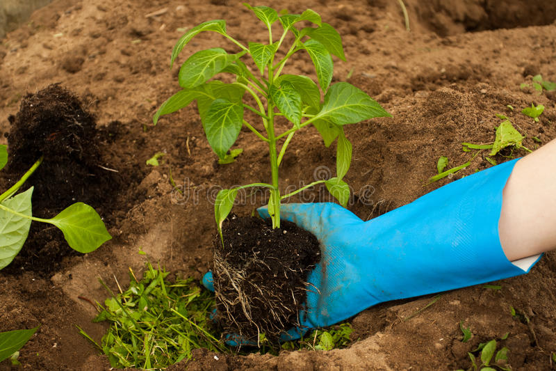 Fazendeiro Plant Young Pepper da mão na terra foto de stock
