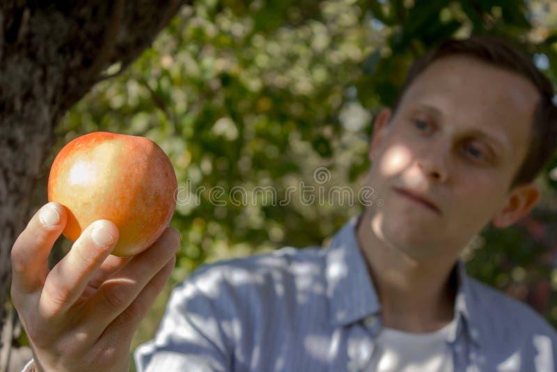 Fazendeiro que colhe uma maçã de uma árvore imagem de stock
