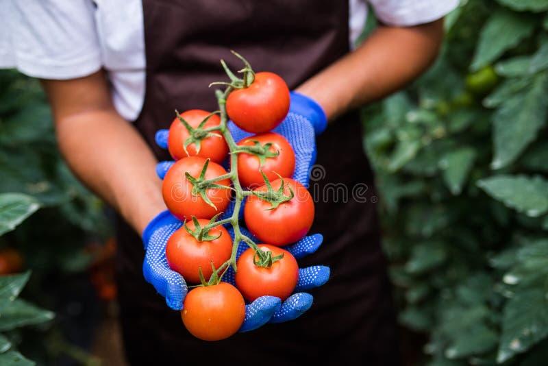 Fazendeiro que guarda tomates deliciosos frescos com as mãos colocadas na estufa foto de stock royalty free