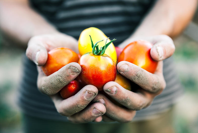 Fazendeiro que guarda tomates frescos no por do sol Alimento, vegetais, agricultura fotografia de stock