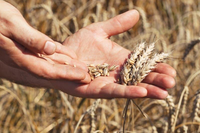 Fazendeiro que inspeciona a colheita imagem de stock