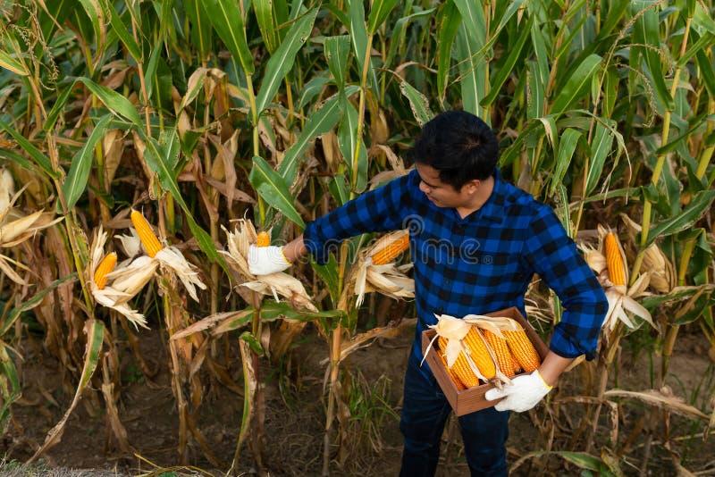 Fazendeiro que inspeciona a espiga de milho em seu campo, milho para a alimentação animal imagens de stock royalty free