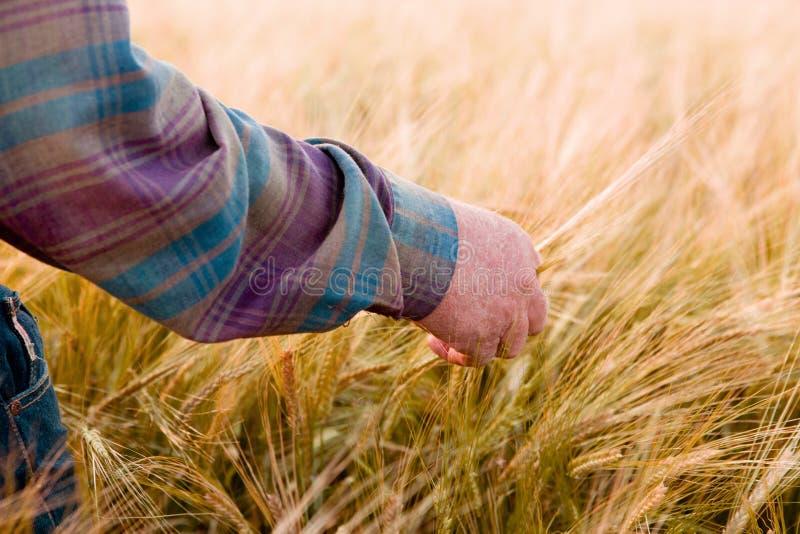Fazendeiro que olha o trigo imagem de stock royalty free