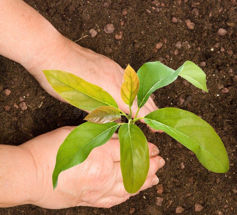 Fazendeiro que planta a árvore de abacate fotos de stock