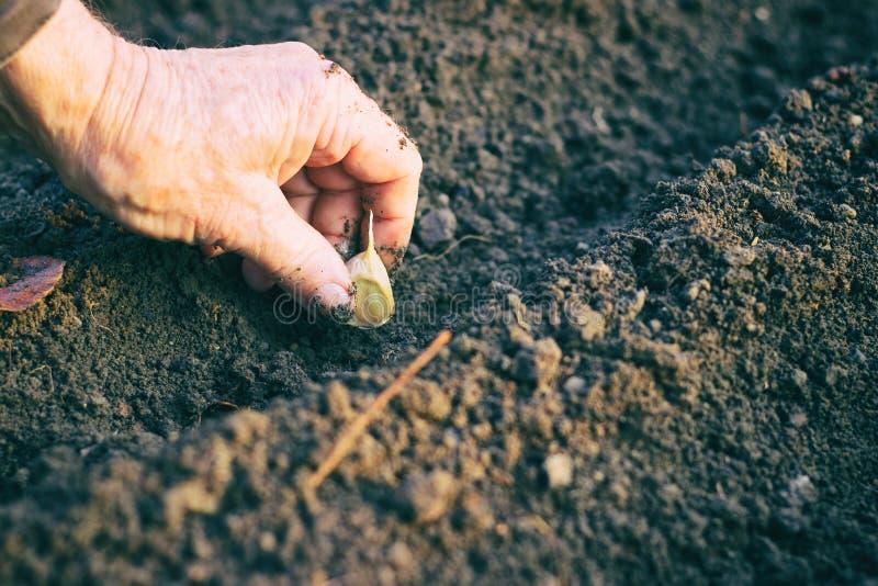 Fazendeiro que planta o alho no jardim vegetal imagens de stock royalty free
