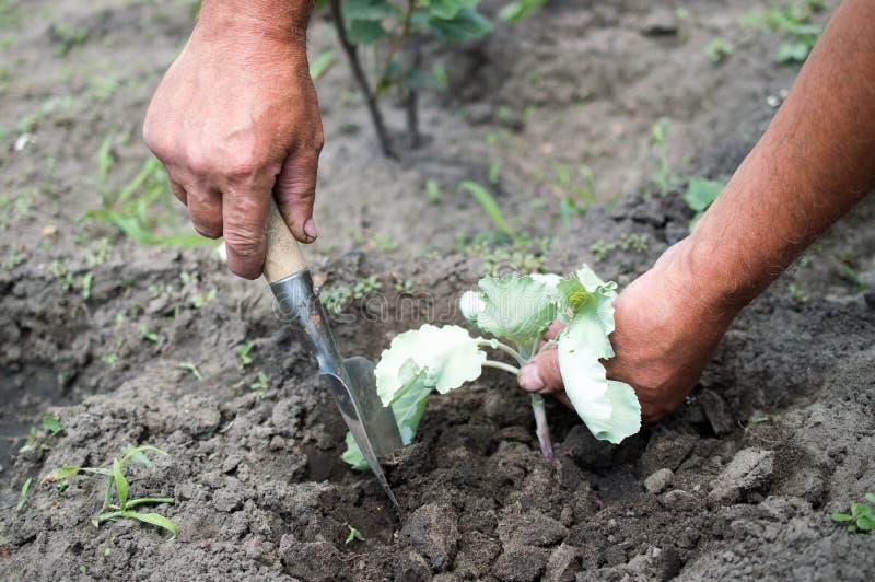 Fazendeiro que planta a plântula da couve imagens de stock