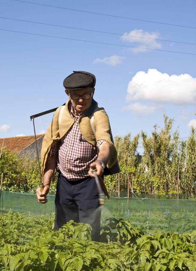 Fazendeiro que tende batatas fotografia de stock