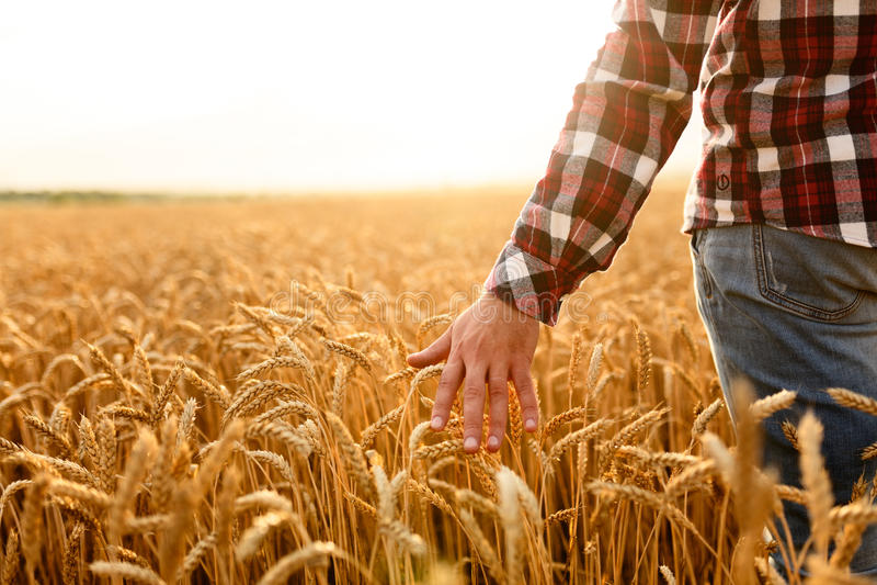 Fazendeiro que toca em sua colheita com mão em um campo de trigo dourado Colhendo, conceito do cultivo orgânico fotos de stock royalty free