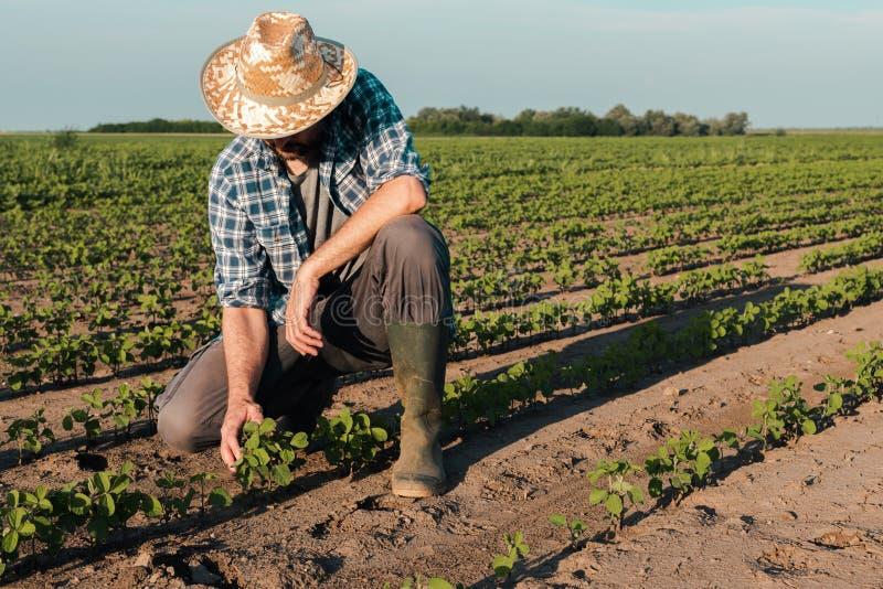 Fazendeiro que trabalha na plantação do feijão de soja, desenvolvimento de exame das colheitas imagem de stock