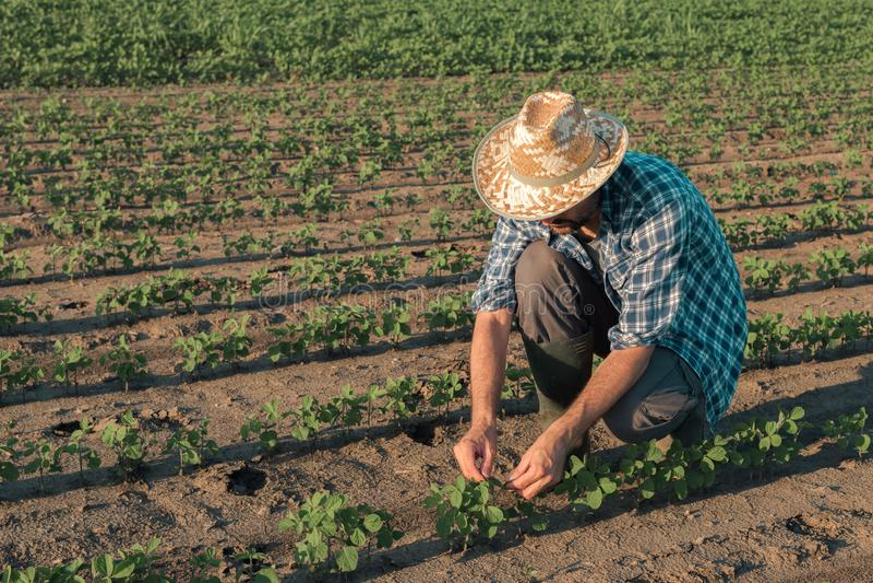 Fazendeiro que trabalha na plantação do feijão de soja, desenvolvimento de exame das colheitas imagem de stock royalty free