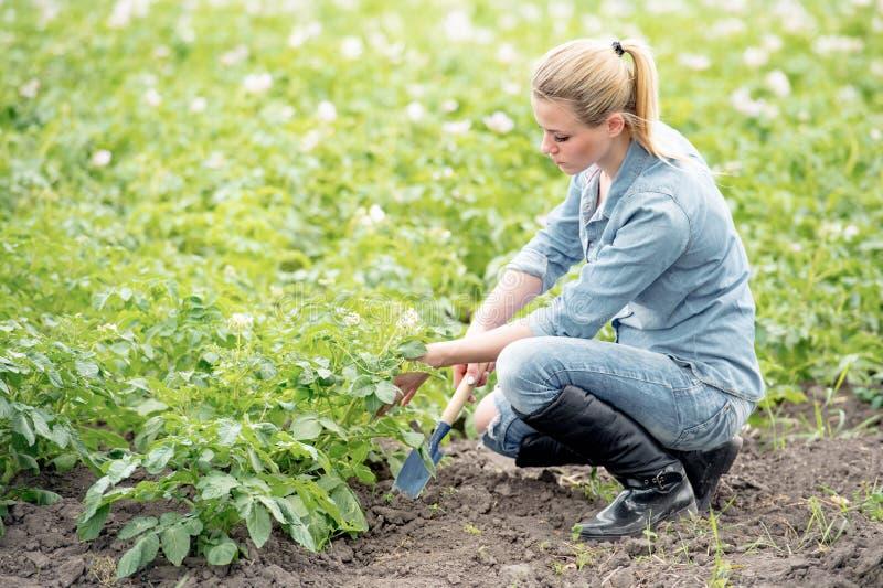 Fazendeiro que trabalha no campo com batatas Jovem mulher que controla g foto de stock royalty free