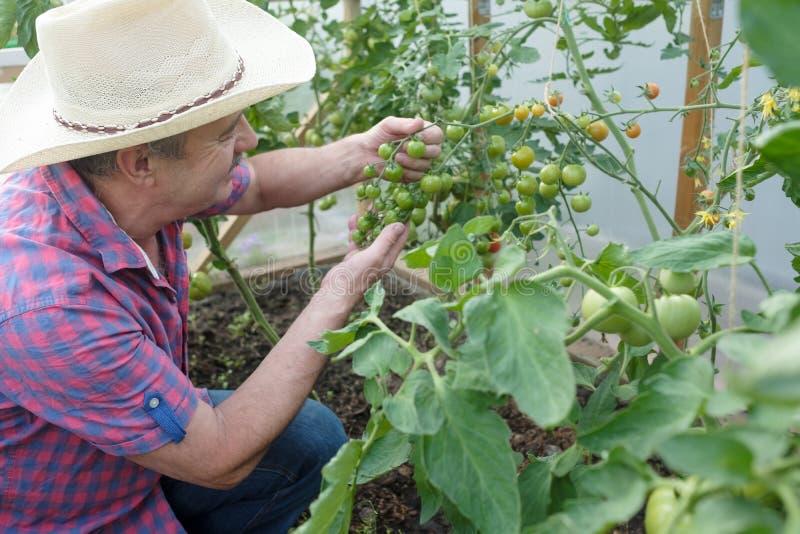 Fazendeiro superior latino-americano que verifica seus tomates em uma estufa foto de stock royalty free