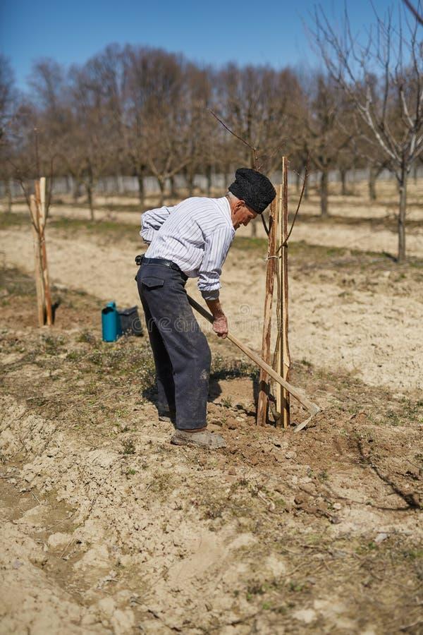Fazendeiro superior que planta uma árvore de ameixa fotografia de stock