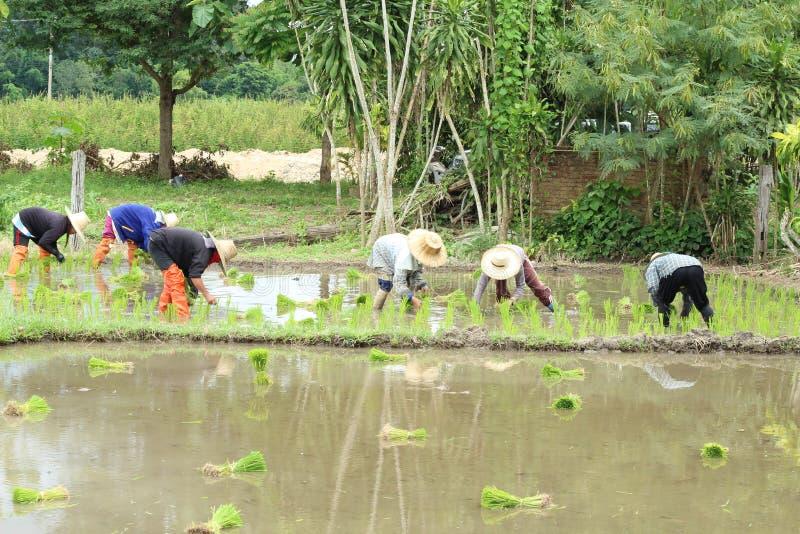 Download Plantação Tailandesa Do Fazendeiro Imagem de Stock - Imagem de cultura, cereal: 29848307