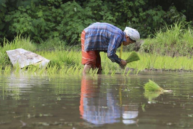 Fazendeiros de Karen que trabalham no campo do arroz imagens de stock