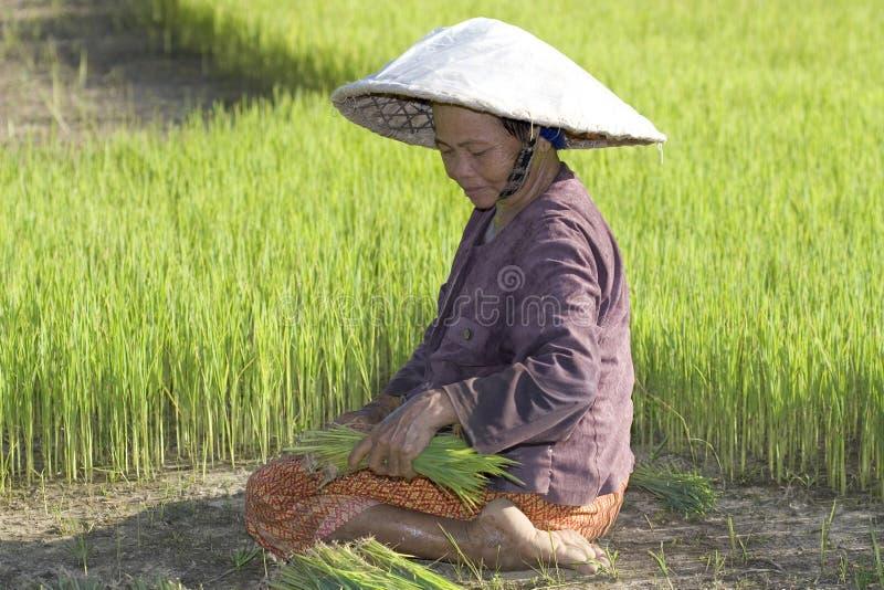Fazendeiros do arroz em Tailândia do norte imagens de stock