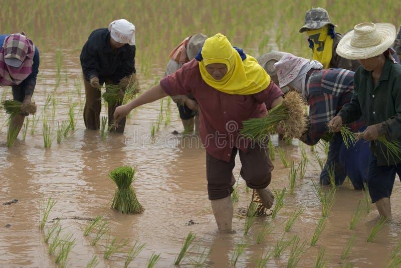 Fazendeiros do arroz em Tailândia do norte fotografia de stock royalty free
