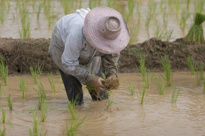 Fazendeiros do arroz em Tailândia do norte fotos de stock