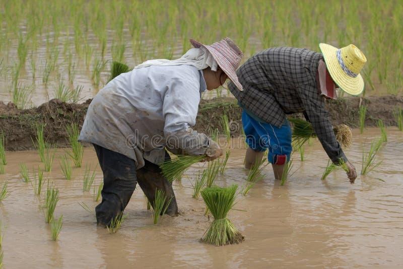 Fazendeiros do arroz em Tailândia do norte imagens de stock royalty free