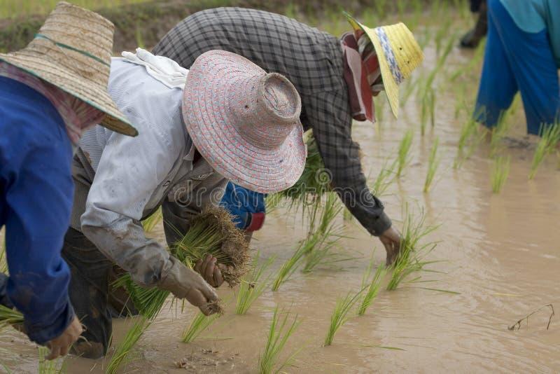 Fazendeiros do arroz em Tailândia do norte fotografia de stock