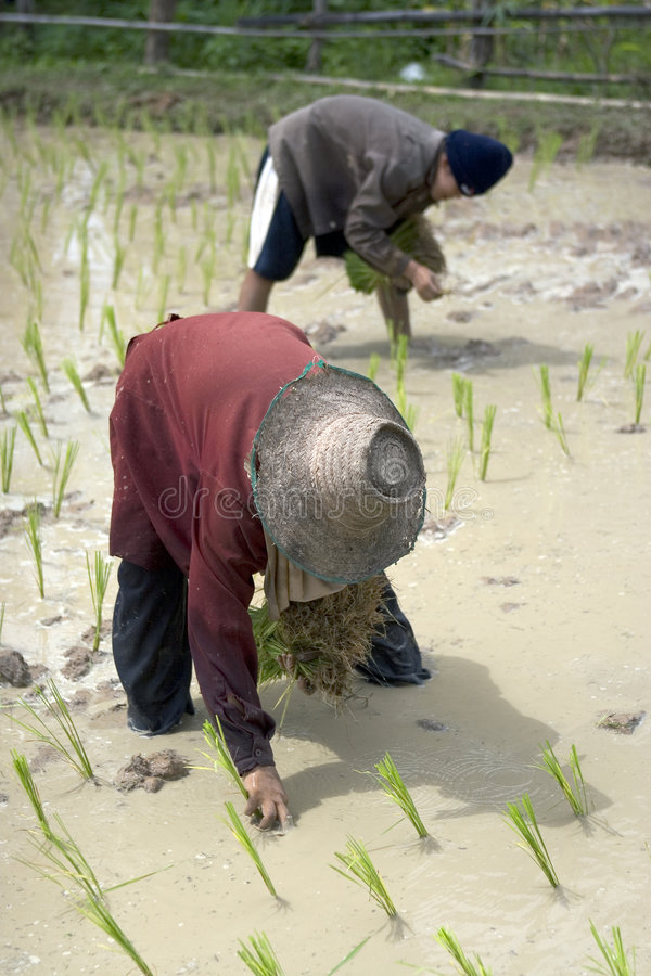 Fazendeiros do arroz em Tailândia do norte foto de stock