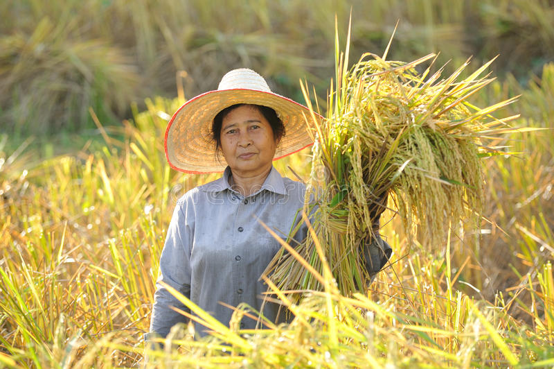 Fazendeiros que colhem no campo Tailândia do arroz imagem de stock royalty free