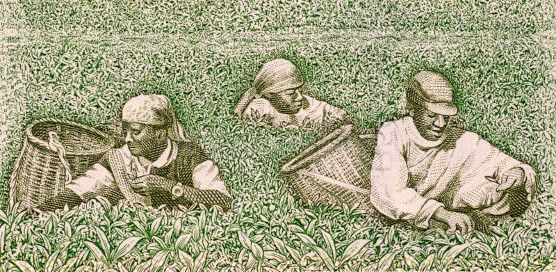 Fazendeiros que escolhem o chá fotografia de stock