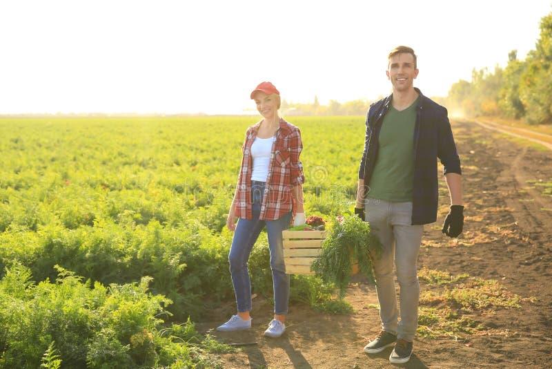 Fazendeiros que levam a caixa com os vegetais recolhidos no campo imagem de stock