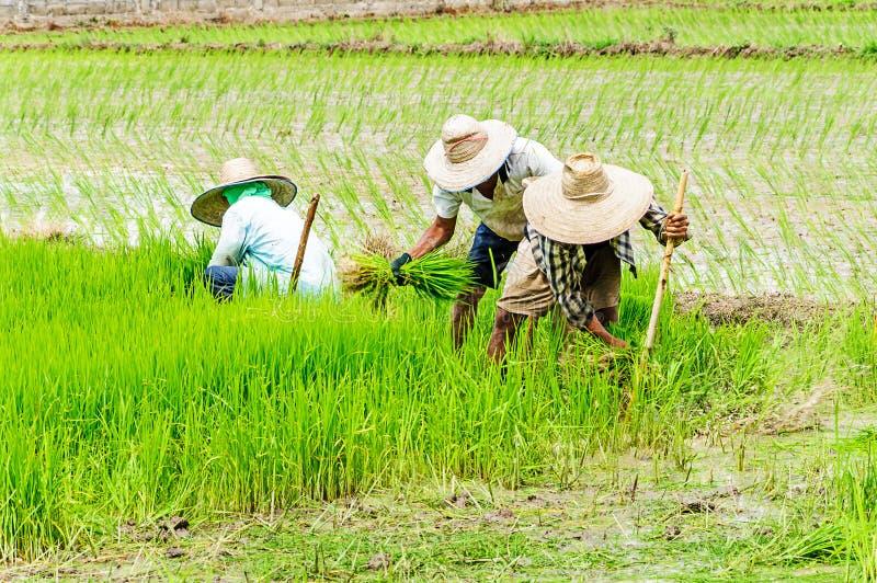 Fazendeiros que preparam plântulas do arroz imagem de stock royalty free