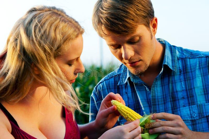 Fazendeiros que verific o milho para ver se há a colheita foto de stock royalty free