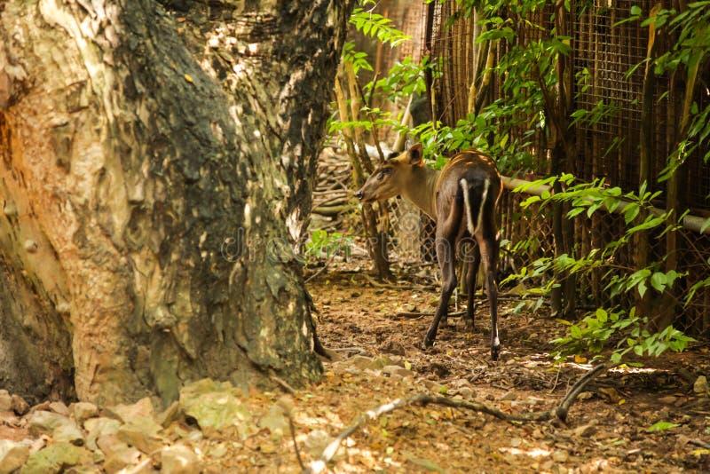 Fea的Muntjac Tenasserim muntjac是昼夜和孤零零的,居住山地常青树,有草饮食的混杂的灌木森林, 免版税图库摄影