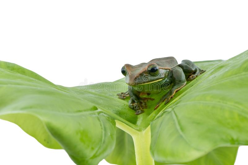 Fea ` s在白色背景的雨蛙,两栖动物特写镜头  免版税图库摄影