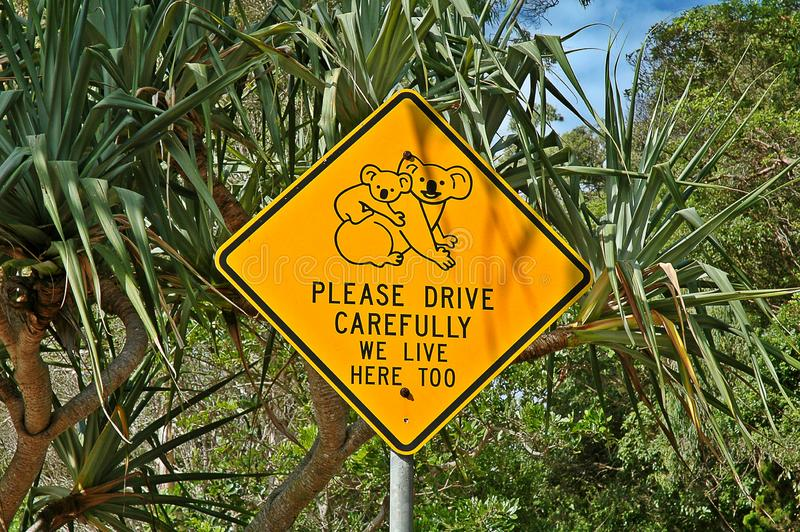 Koalas in Australia. Without fear of making mistakes, we can affirm that the koala is a kind of badge, symbol of Australia even above the kangaroo, or its small stock image