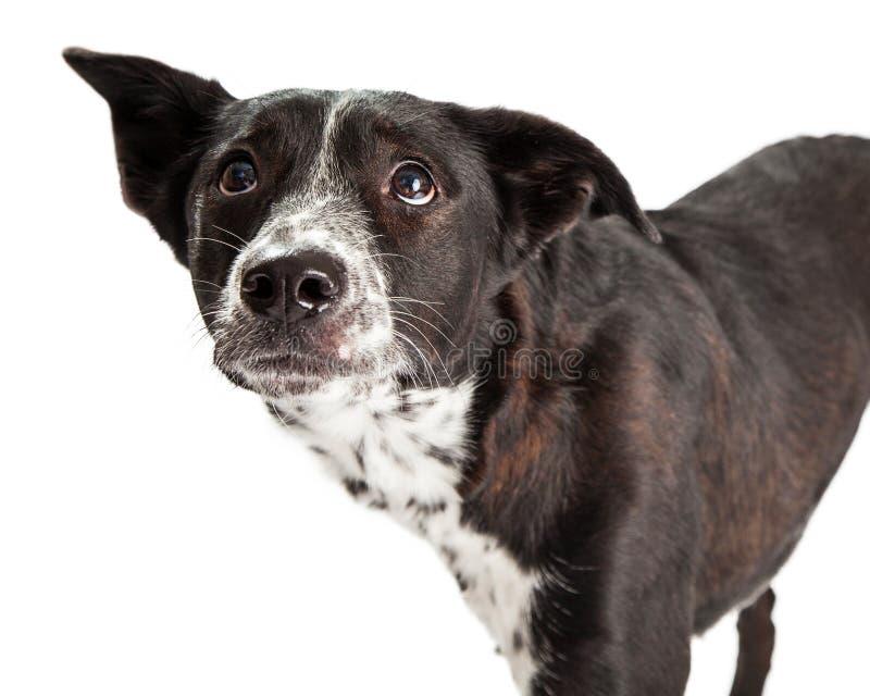 Fearful Australian Shepherd Mixed Breed Dog. A scared looking Australian Shepherd Mixed Breed Dog stock photo