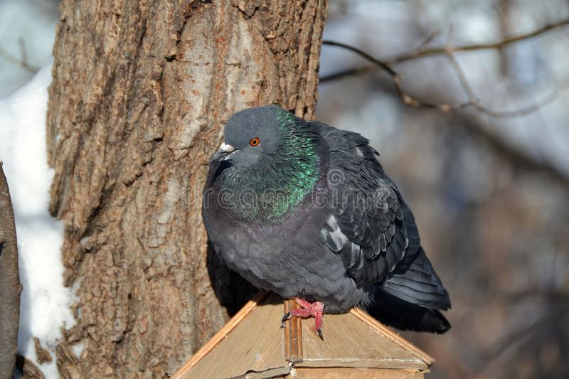 The fearsome pigeon frowned from the cold on the roof of the feeder near the tree stock images