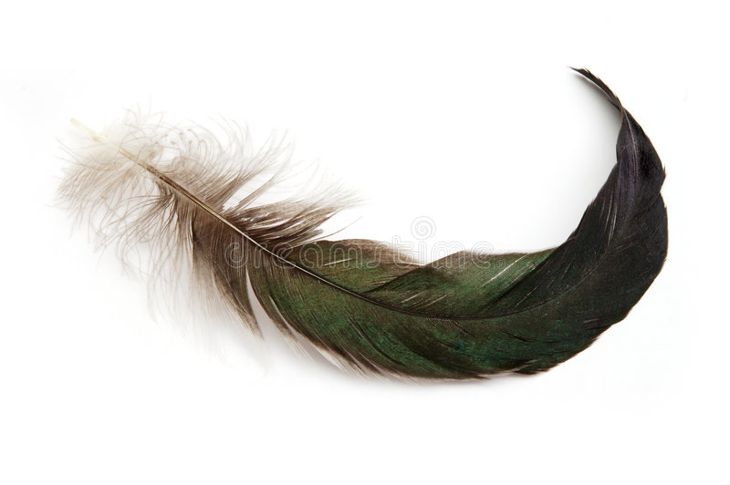 Download Feather stock image. Image of downy, tail, black, feather - 523015