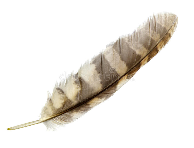 Feather. Striped feather isolated on white