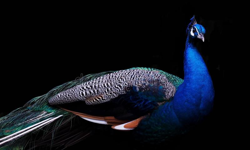 Feather, Bird, Beak, Cobalt Blue royalty free stock photos