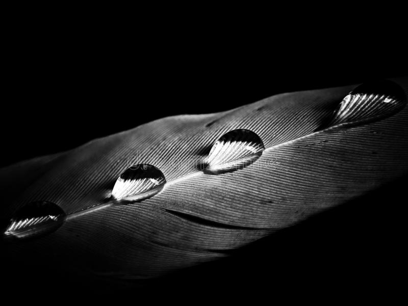 Feather of a bird in droplets on black and white stock image