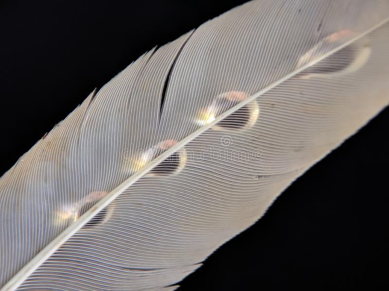 Feather of a bird in droplets of water on a dark background royalty free stock photography