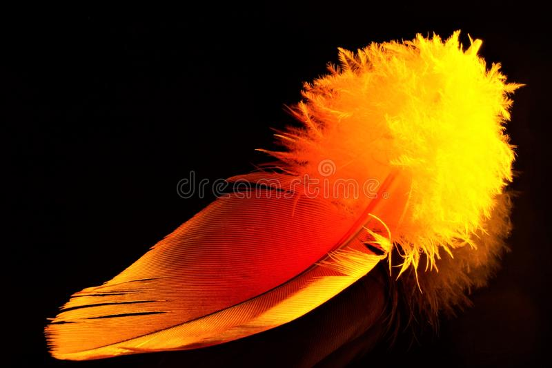 Feather bird gold, close-up isolated on a black background, light and airy. The pen is lightweight material, allows birds to fly,. Used as decoration, writing royalty free stock photos
