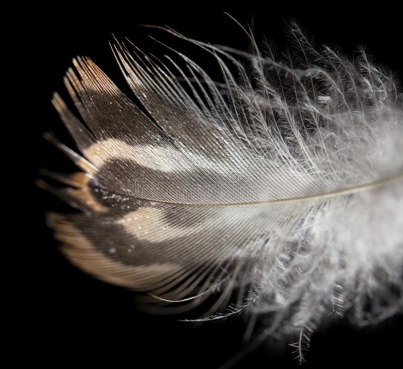 Feather on a black background. Photos in the studio royalty free stock photo