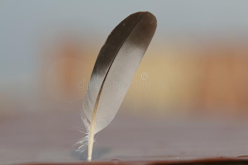 Feather on blured backgtound. Feather gray and white on blurred background and nice bokken royalty free stock image