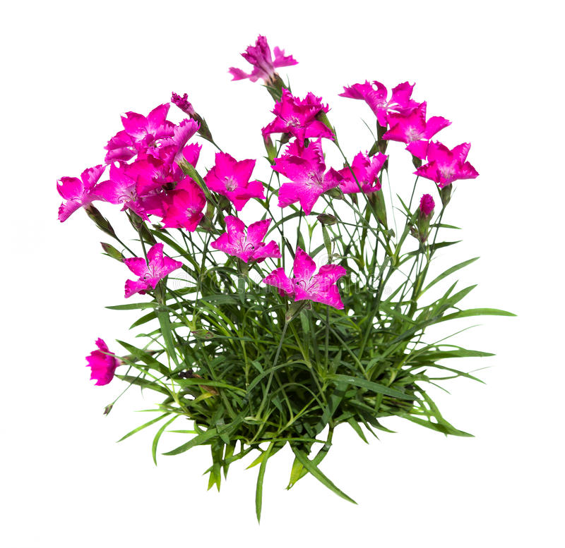 Feather carnation or dianthus on white background. Feather carnation or dianthus on white background, a decorative garden plant with blossoms stock photo