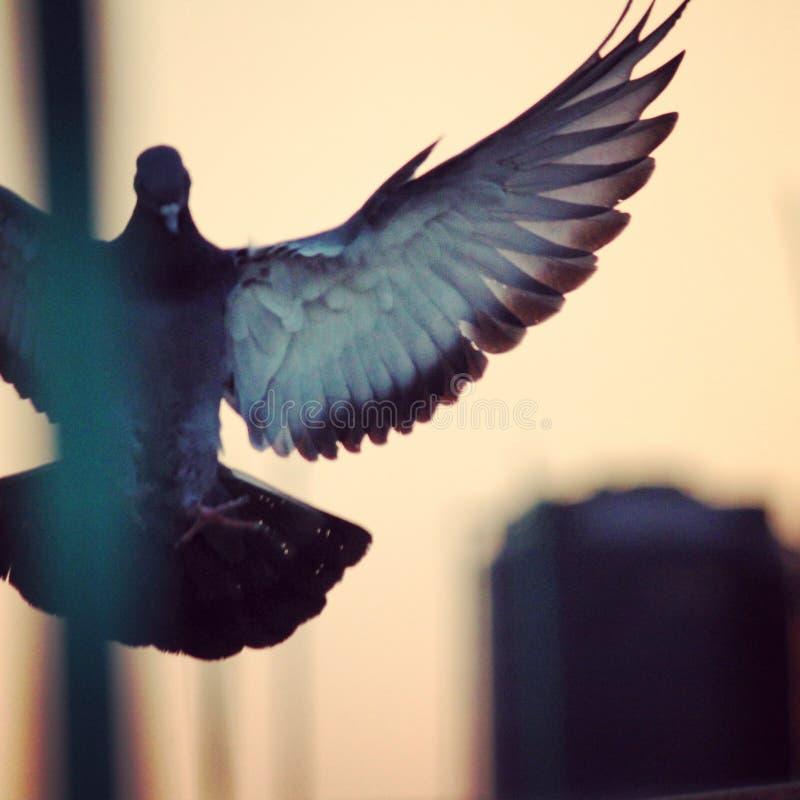 Feather& x27 de la paloma; s imagenes de archivo