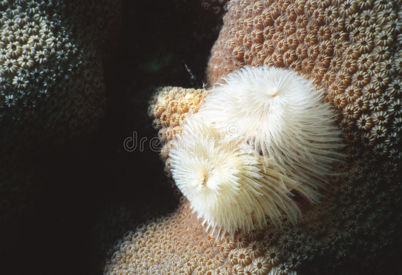 Feather duster on star coral stock images