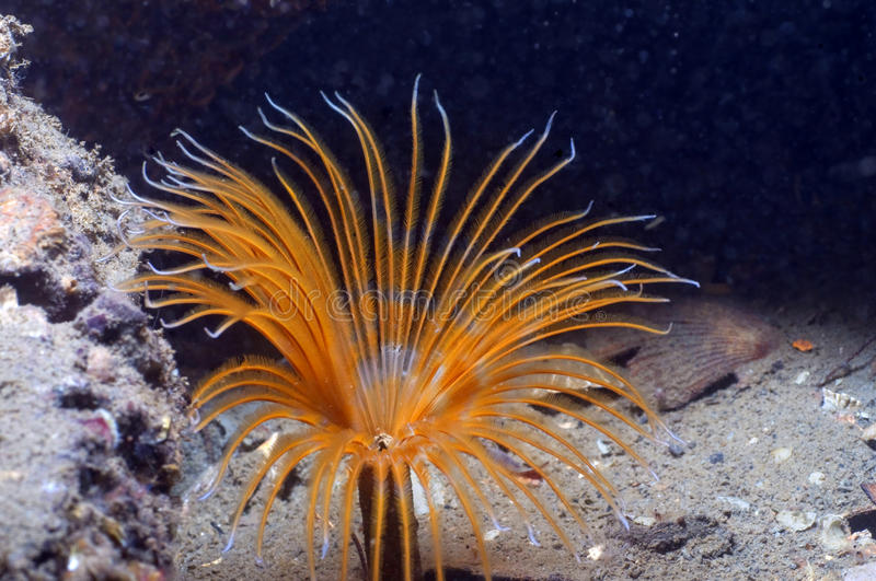 Download Feather Duster Worm stock image. Image of invertebrate - 11744399