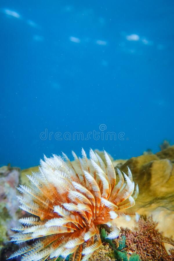 Feather duster worm or tube worm Sabellidae on rocks underwater of Anse a l'Ane beach, Martinique island, Caribbean sea royalty free stock photo
