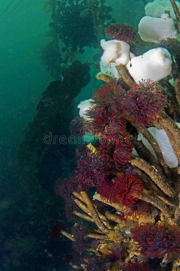 Feather Duster Worms. Are a common sight at Edmonds Underwater Marine Park in Washington State royalty free stock photo