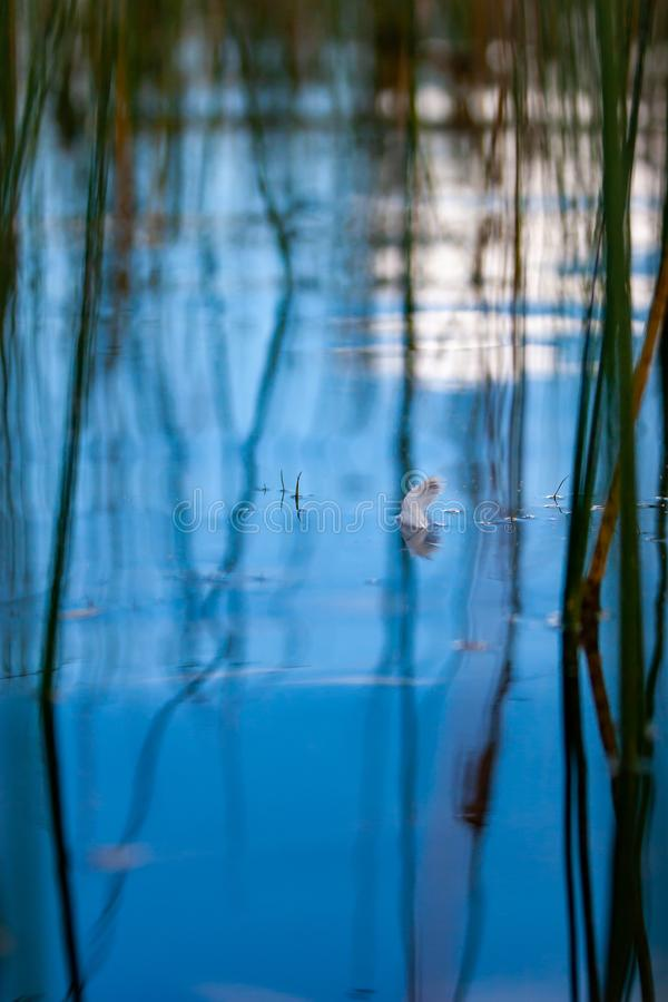 The feather floats on the blue water among the reed stalks with beautiful reflections and a blurred background. stock photography